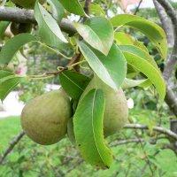 Pære , pyrus communis . der er mange sorter af pæretræer. de