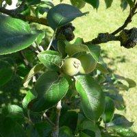 Frugttræer... . frugttræer: æble, kirsebær, pære