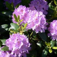 Rododendron (Rhododendron catawbiense)