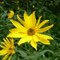 Solhat (lille) (Rudbeckia speciosa)