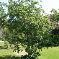 Æbletræer blomstrer smukt i hvide og rosa nuancer i foråret og